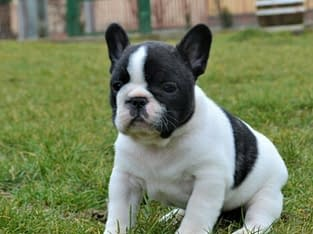 Healthy and cute French Bulldog Puppies available